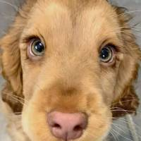 Meet Winnie, the Cocker Spaniel with gorgeous eyes who looks like a real-life Disney character