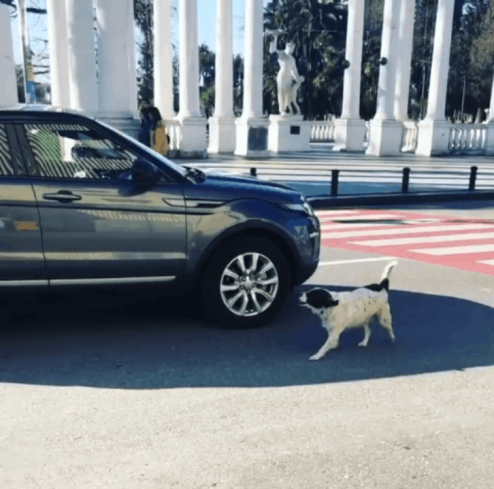 Hero dog barks at cars who don't let pedestrians cross safely.