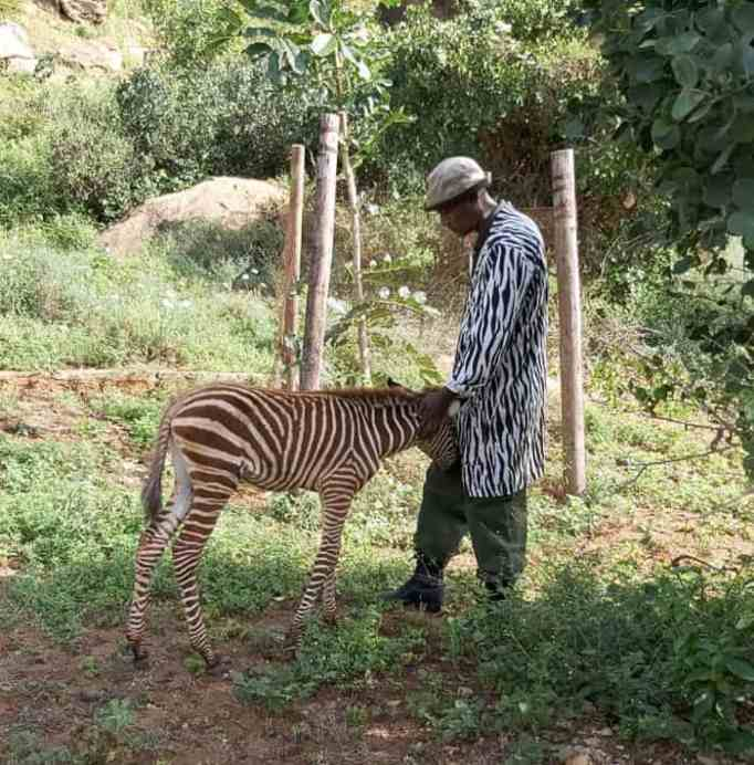 Baby zebra foal being affectionate to his carer