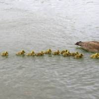 Canada goose patiently looks after 47 adorable goslings with her mate