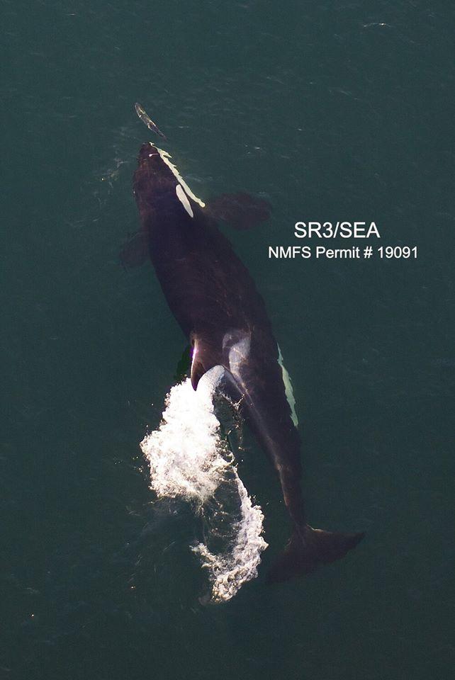Orca que ficou triste por 17 dias e carregou seu filhote morto por mais de 1.000 milhas está grávida de novo 5