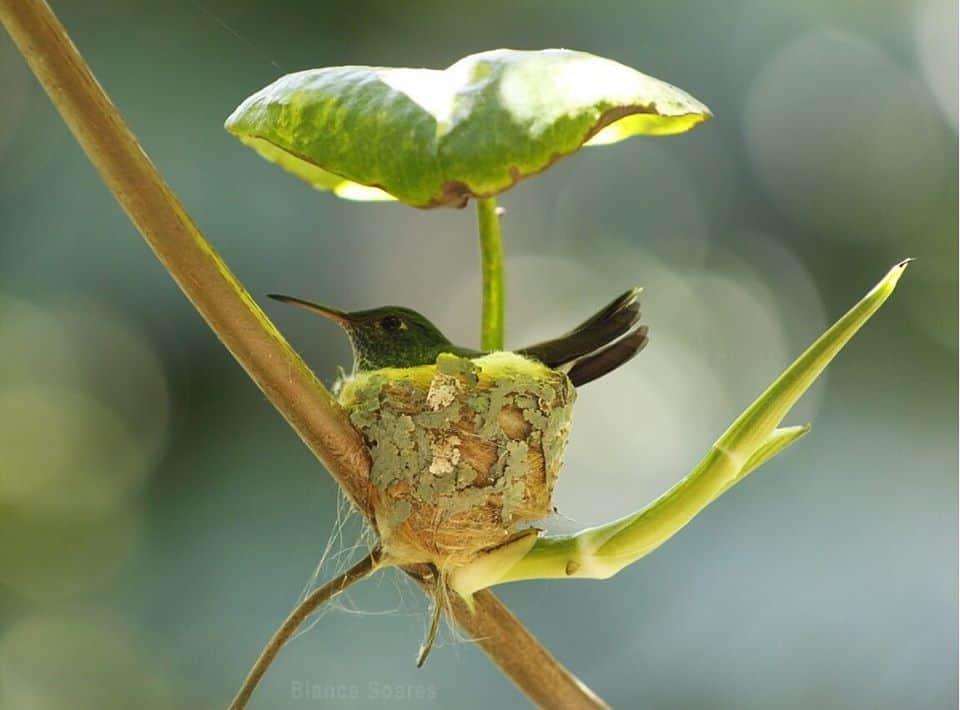 The nest built by a humming bird.