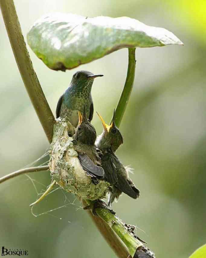Giant leaf protects the nest built by a hummingbird.