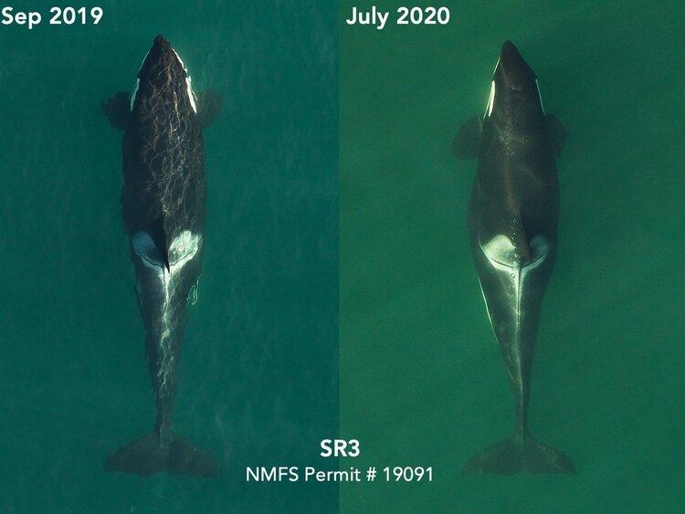 Orca que ficou triste por 17 dias e carregou seu filhote morto por mais de 1.000 milhas está grávida de novo 3