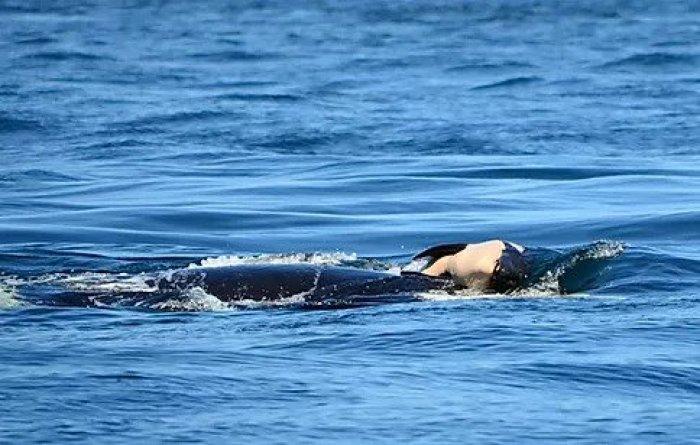 Orca que ficou triste por 17 dias e carregou seu filhote morto por mais de 1.000 milhas está grávida de novo 2