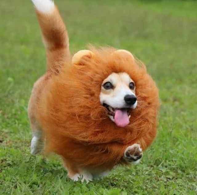 Gen the Corgi looking like a lion. Happy Life.