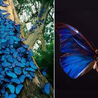 Photographer captures fairy-tale sight of iridescent blue butterflies gathered on a tree