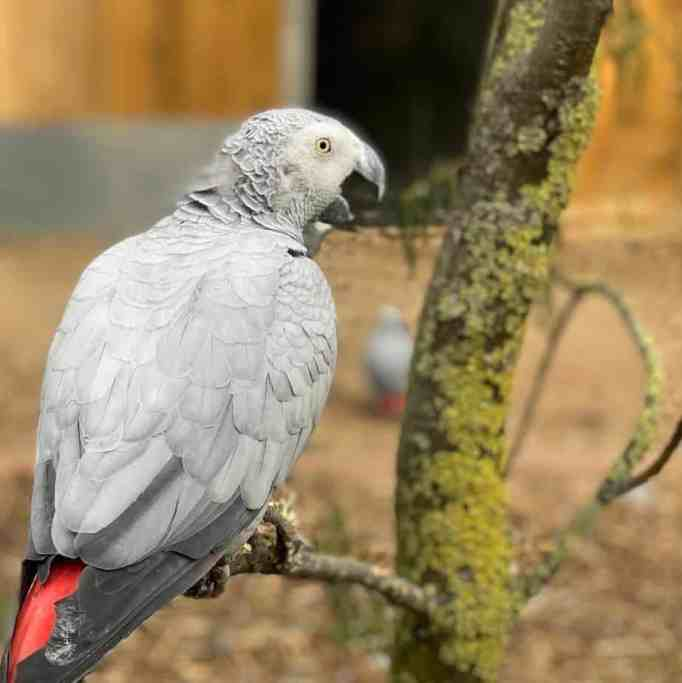 An African grey parrot at Lincolnshire Wildlife Park