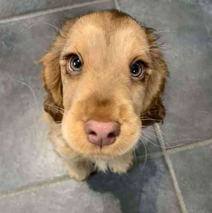 Winnie the Cocker Spaniel with the most beautiful eyes