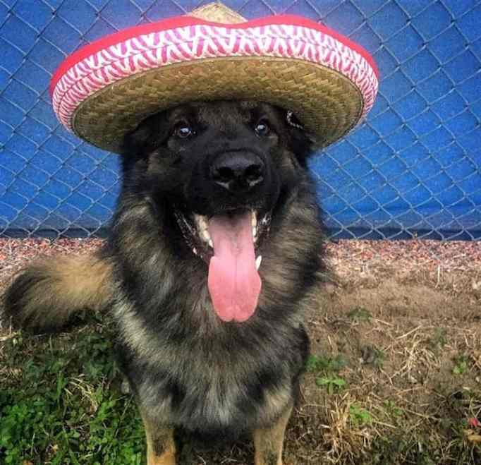 K-9 police officer Chico during Cinco de Mayo