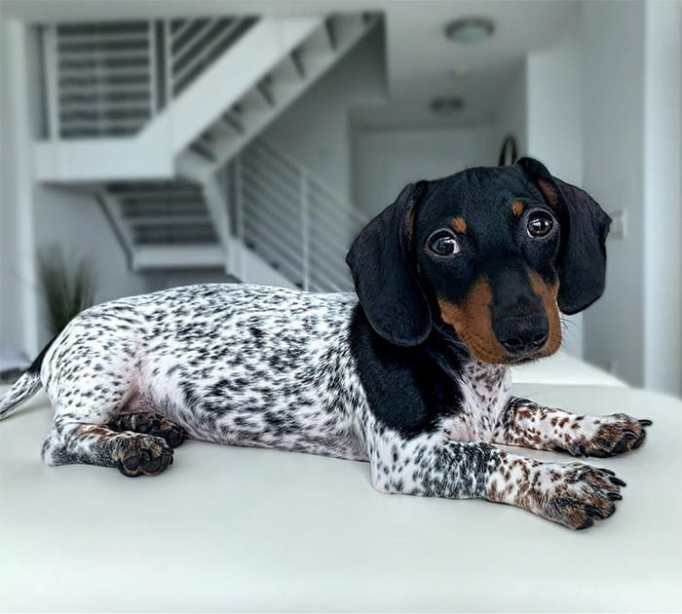 Moo the dachshund with themismatched coat