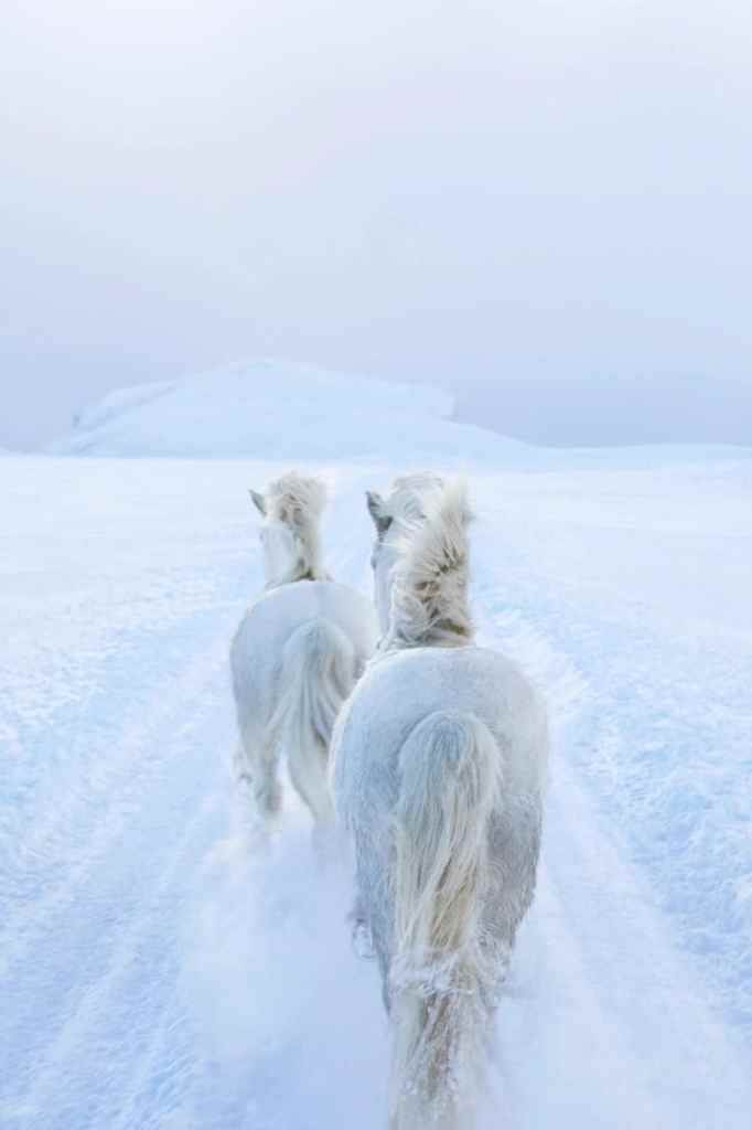 Iceland horses running in a snowy expanse