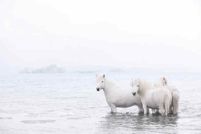 Iceland horses in the ocean