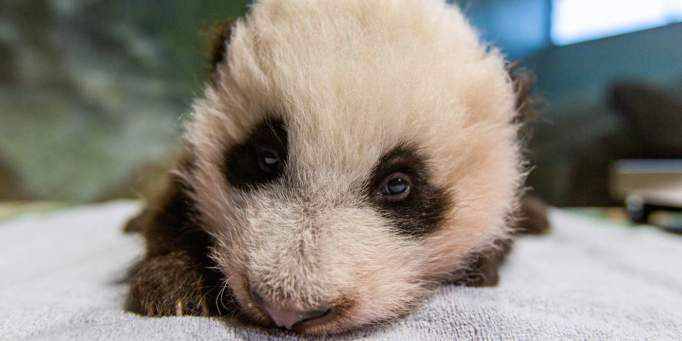 Panda cub at the Smithsonian's National Zoo and Conservation Biology Institute