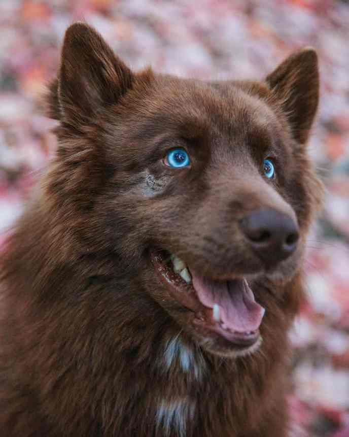 SeQuoi Tenk the rare chocolate brown Siberian Husky