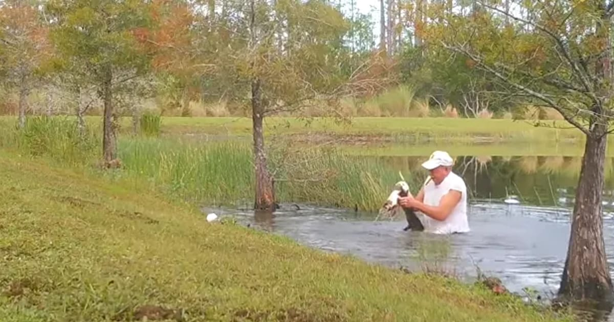 Surveillance cameras capture man wrestles his puppy from jaws of alligator without dropping his cigar - my positive outlooks