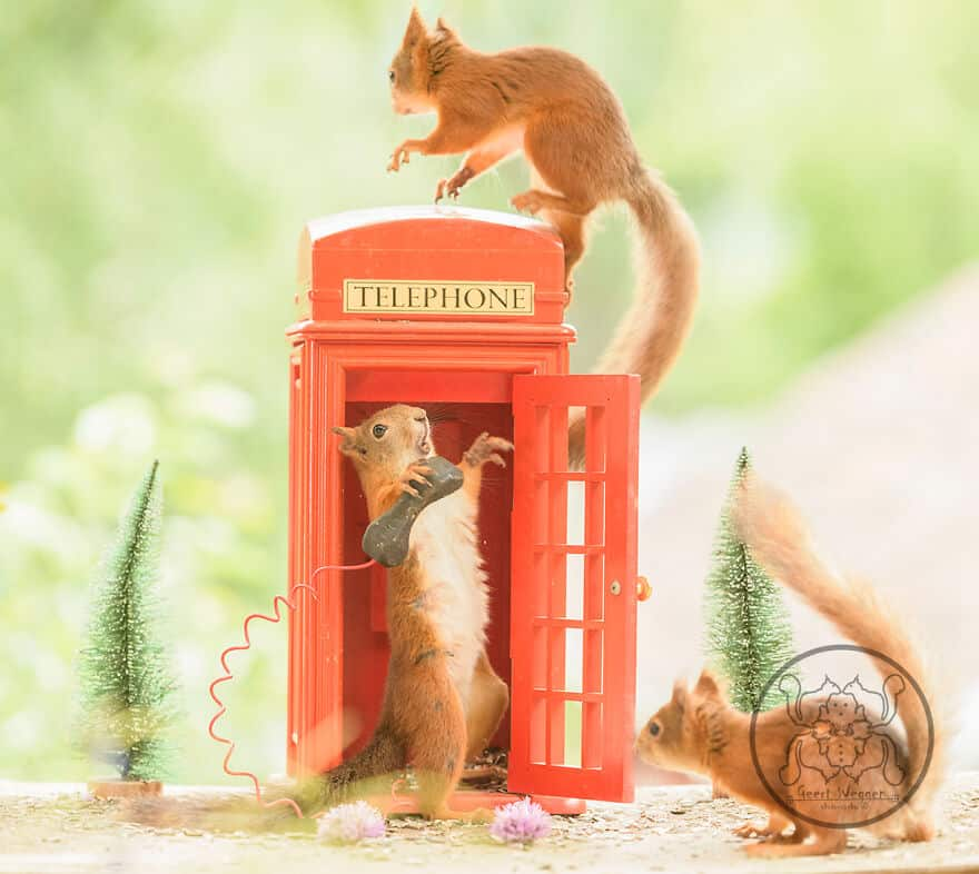 Three squirrels playing around a mini telephone booth