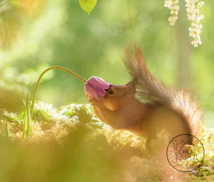 Squirrel sniffing a flower
