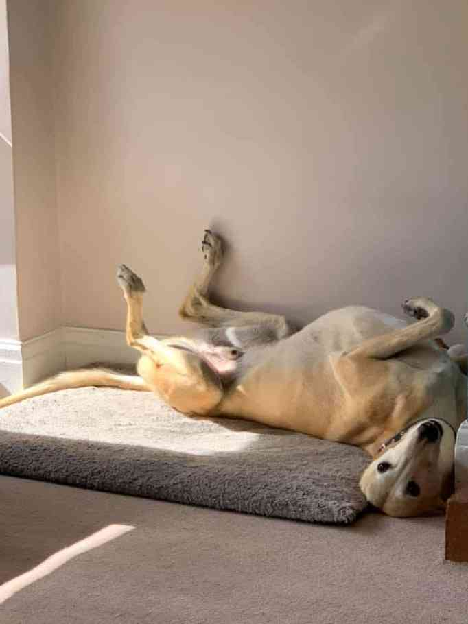 A Lurcher dog lying on his back on a dog bed