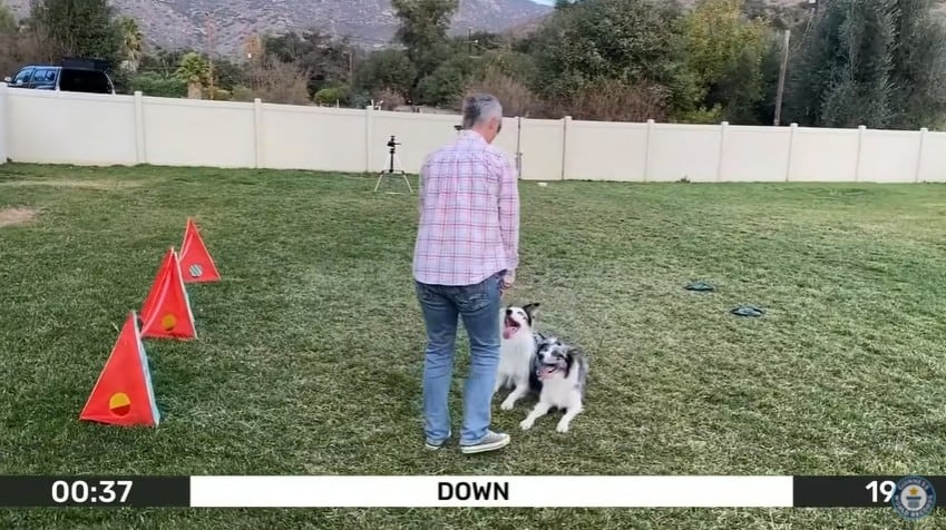 A dog trainer with two border collies performing a trick