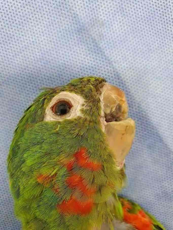Bright green parrot that lost most of its beak