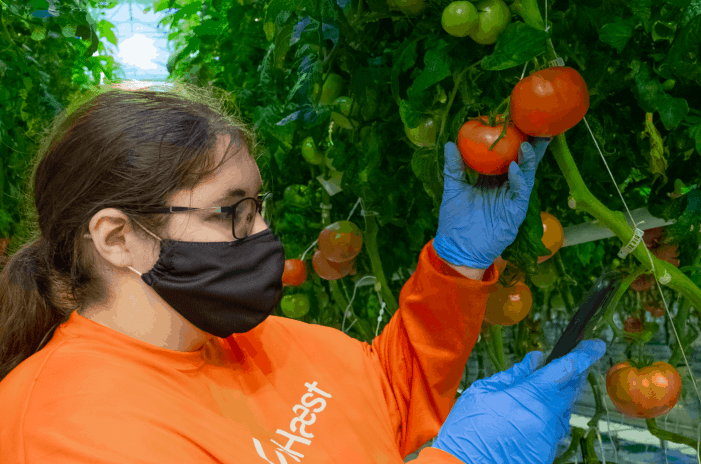 A woman inspecting beefsteak tomatoes grown in AppHarvest's indoor farms in Kentucky