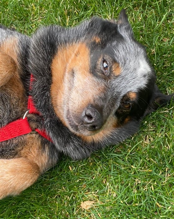 A cattle dog lying on the grass