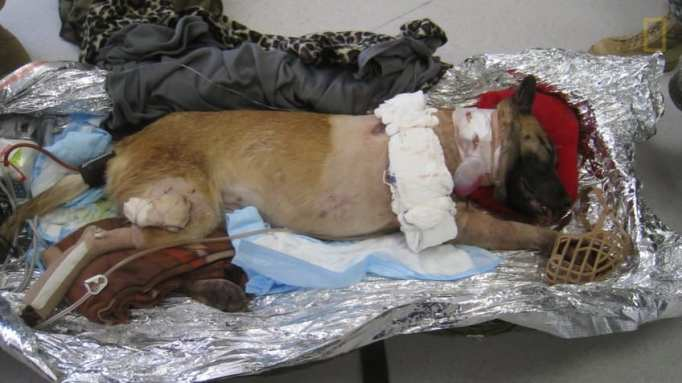 A military dog recovering from a gun shot