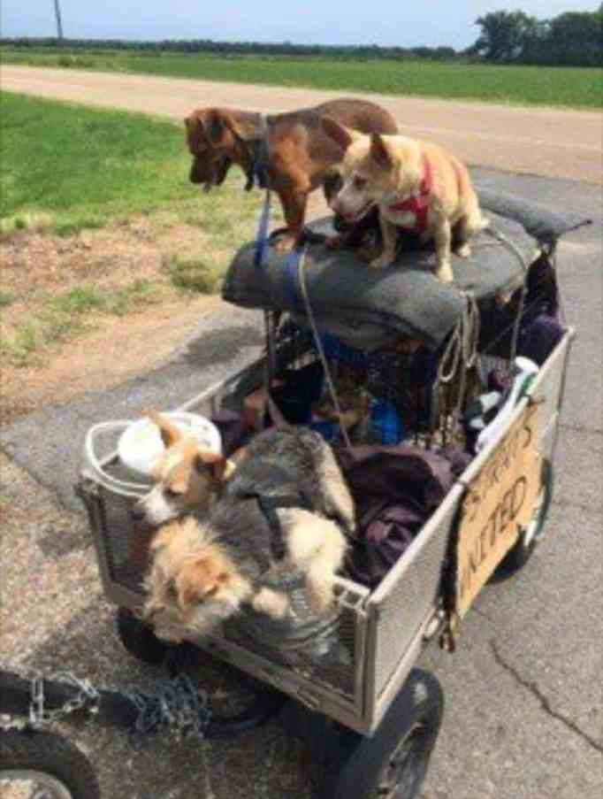 Several dogs in a cart