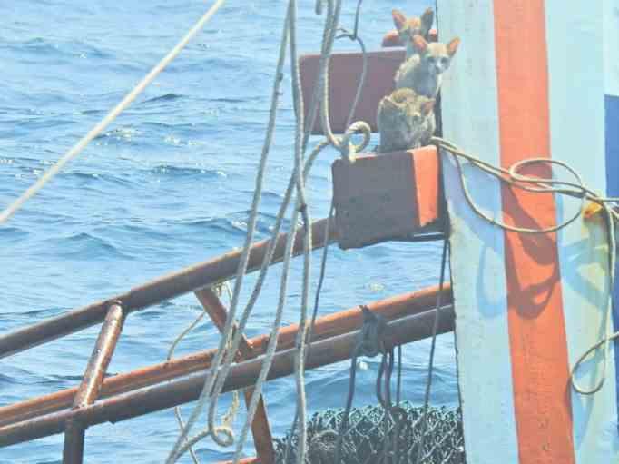 Cats aboard a sunken ship