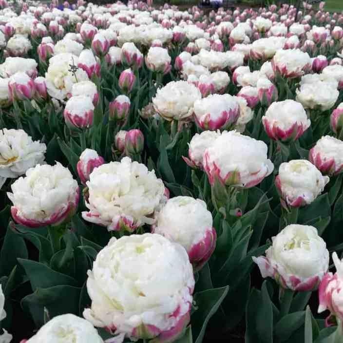 Тюльпаны мороженого