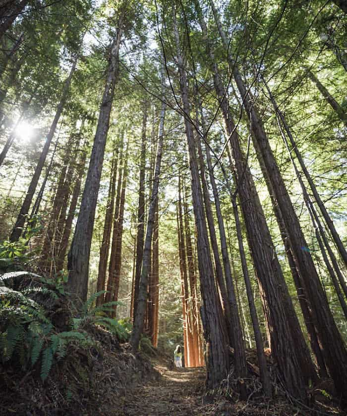 A woman standing among the trees in the Redwood forest