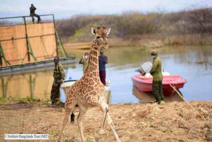 Молодой жираф