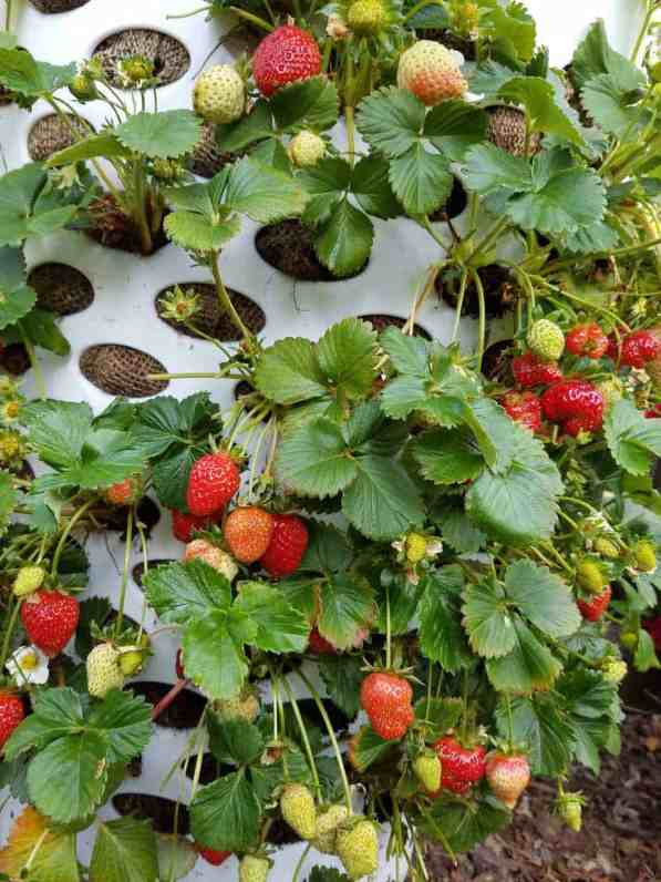 Strawberries growing from a laundry basket planter