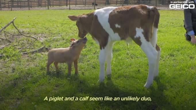 Свинья Марли и теленок Эли на ферме