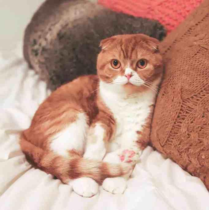 Sweet Potato the cat