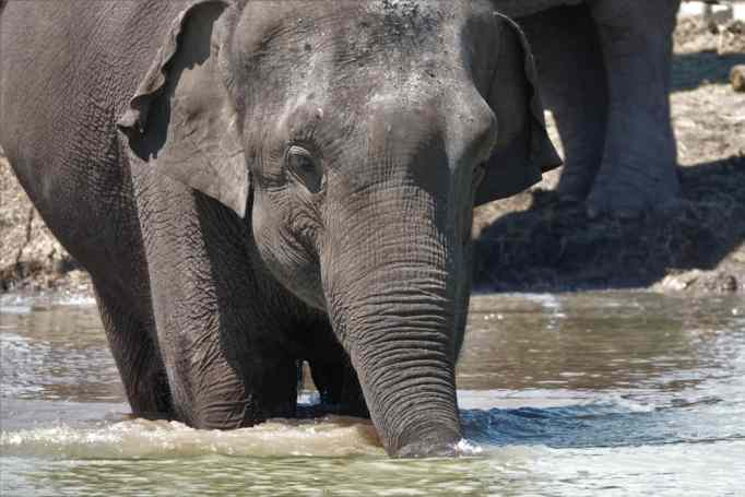 An elephant in the water