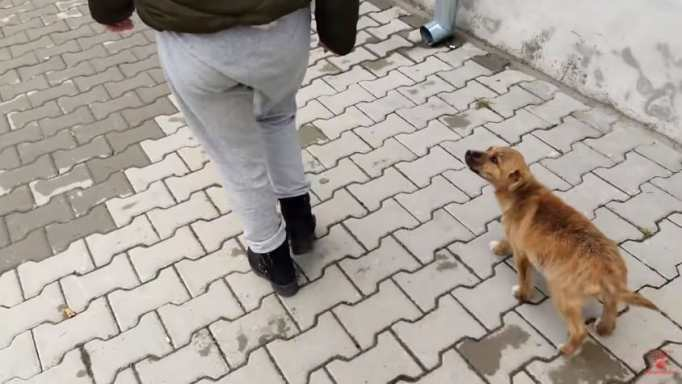 A little brown puppy following a woman