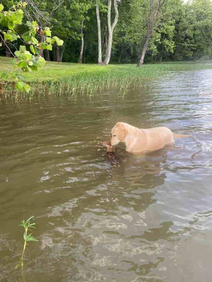 A goldendoodle saving a fawn from drowning in a lake