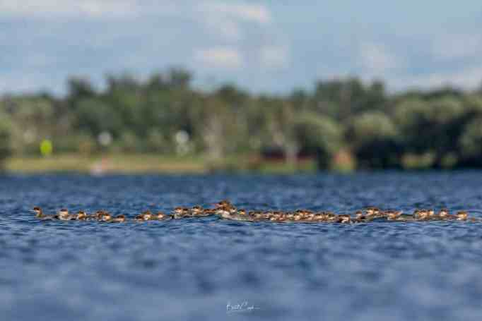 A female common merganser surrounded by a brood of ducklings