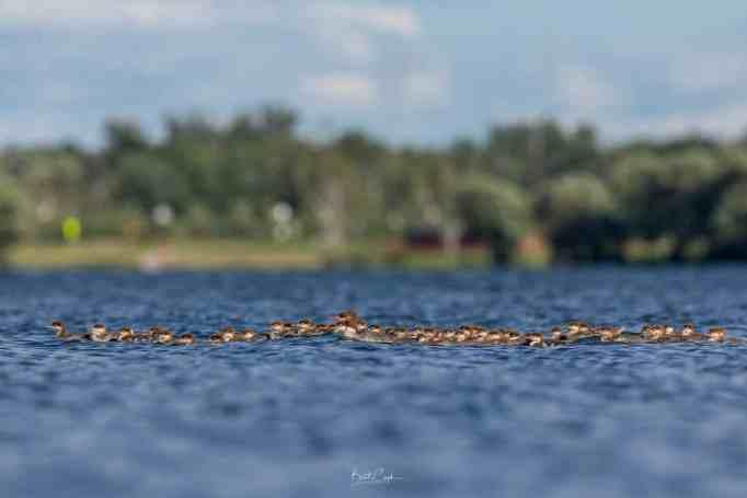 Самка обыкновенного крохальщика в окружении выводка утят