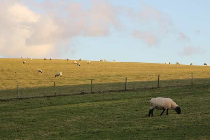 Sheep peacefully grazing on a quiet field.