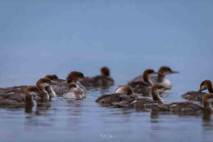 Young mergansers in the water