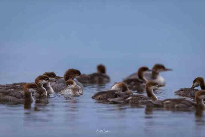 Молодые крохали в воде