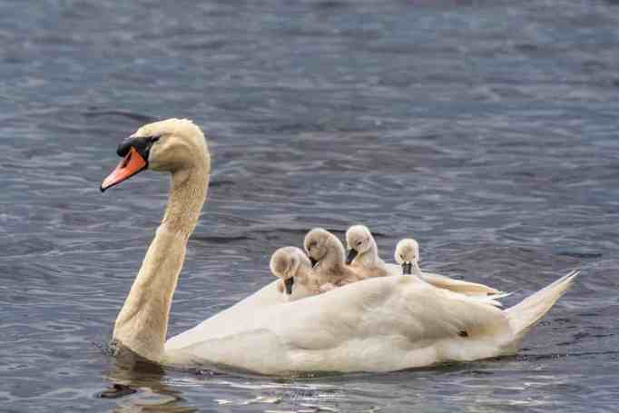 A father swan carrying cygnets on his back as they ferry across a lake