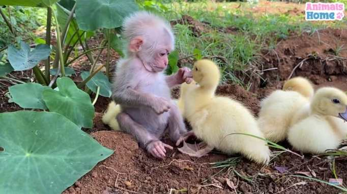 A baby monkey with a brood of ducklings
