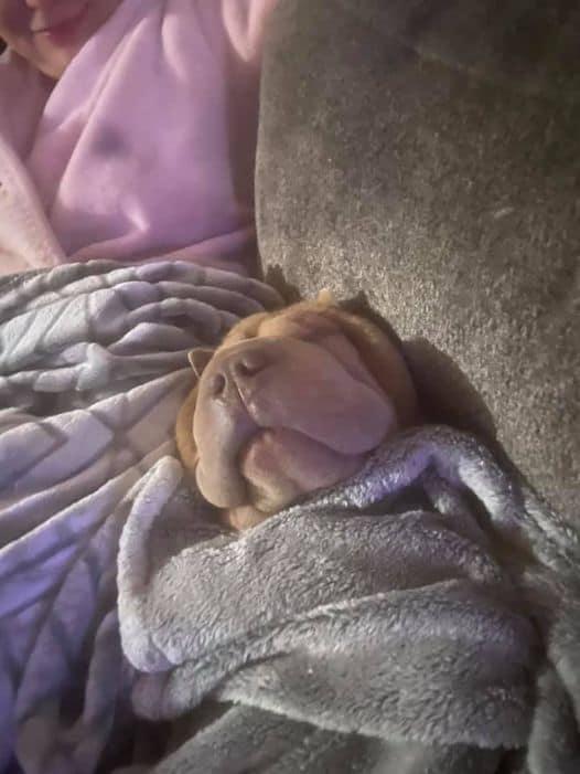 Darla happily sleeping under a blanket.