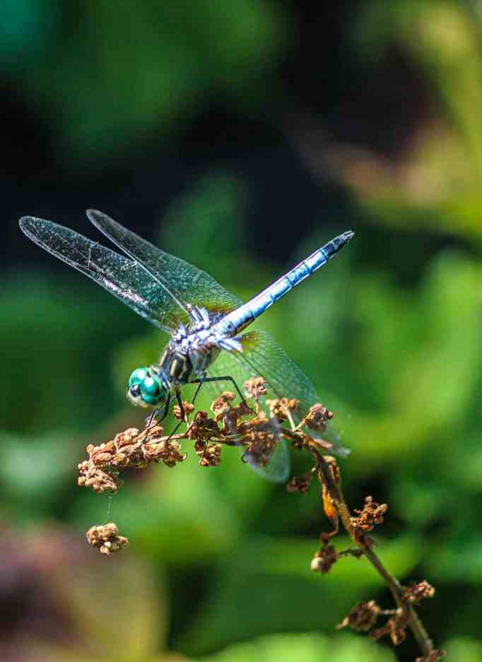 Dragonfly enjoying itself on the tip of a plant.