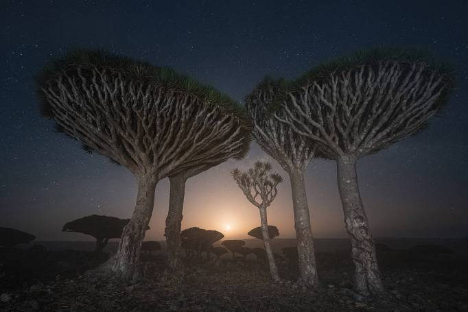 Dragon's blood trees in Socotra