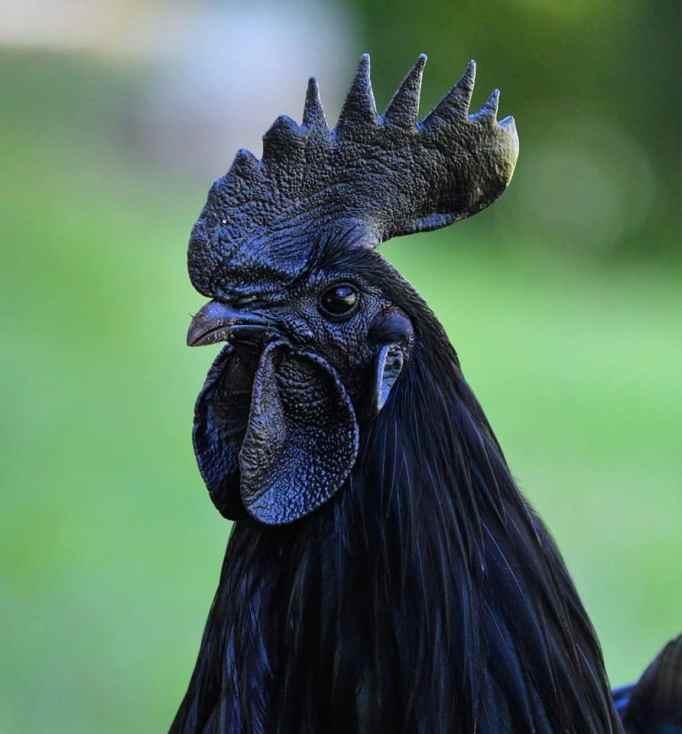 An Ayam Cemani chicken